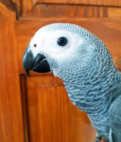 Tame Talking African Grey
