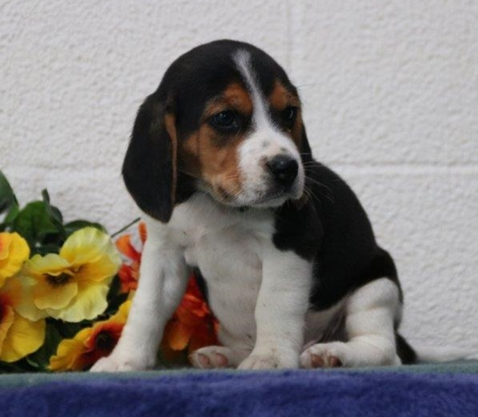 Stunning kc male and female Beagle Puppies For sale