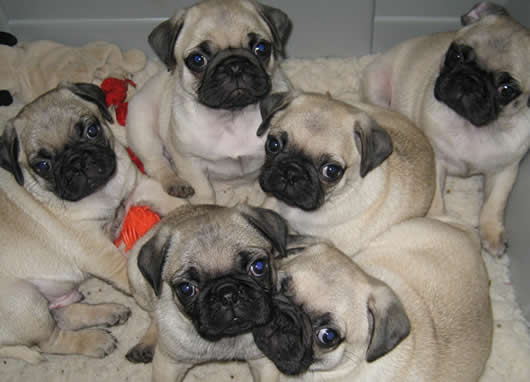 Fawn pug puppies available