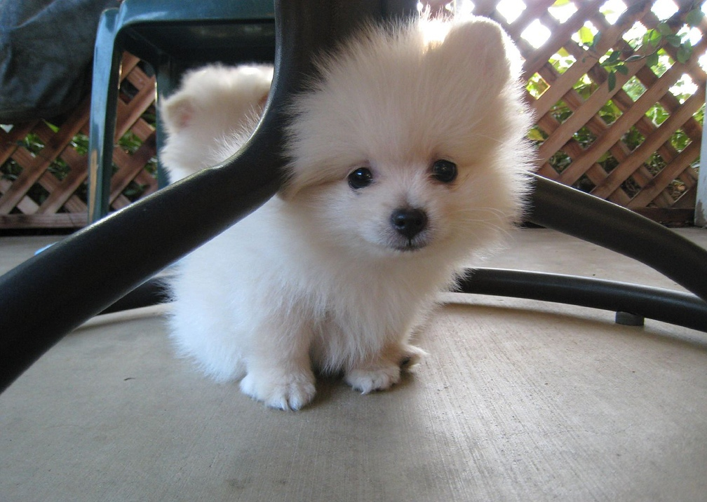 Mini male and female Pomeranian Puppies For New Home