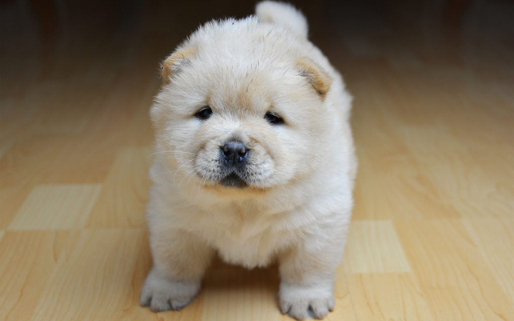beautiful KC registered Chow Chow puppies. ready now or sale
