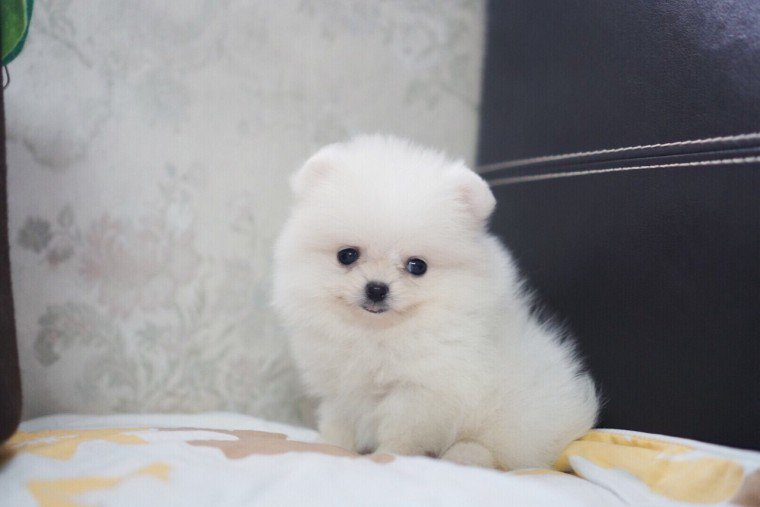 adorable blue and tan merl Pomeranian boy ready for sale now